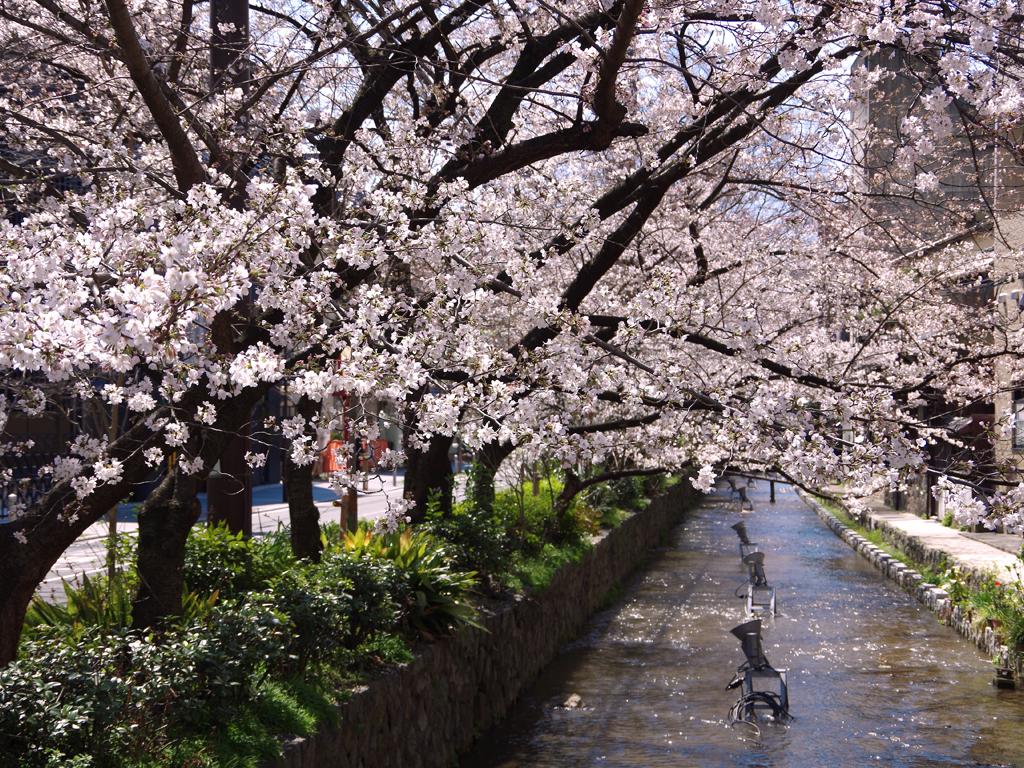 高瀬川沿いの桜並木
