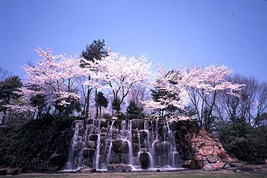 写真:桜咲く庭園