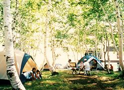 写真:白樺林でキャンプ