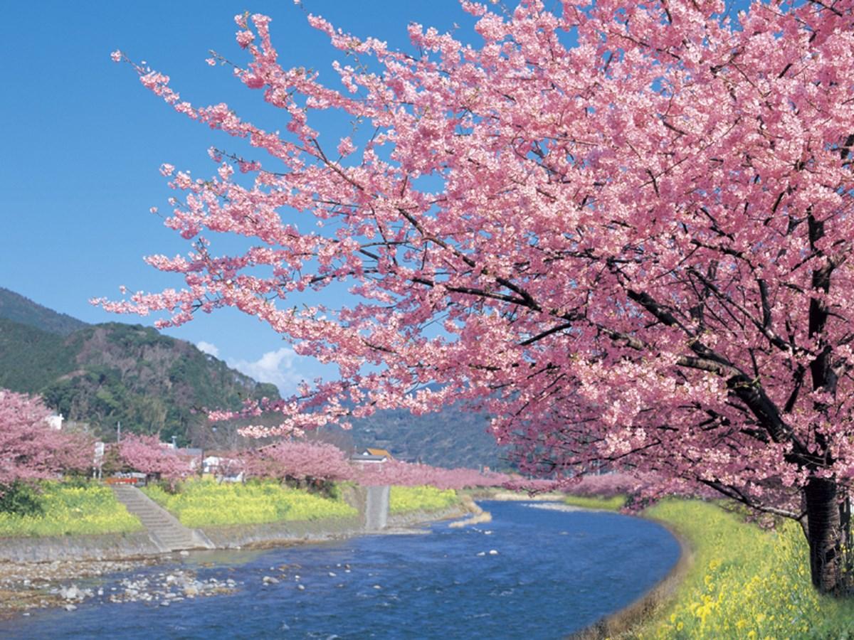 """平成30年2月10日~3月10日開催!<br /> 厳冬の中咲き誇る河津桜で一足早い春をお楽しみください!<br /> <br /> 河津桜とは静岡県賀茂郡河津町にて毎年2月上旬から咲き始め3月上旬までの約1ヶ月に渡り咲く早咲きの桜です。<br /> 花が大きくピンク色なのが特徴のこの桜は本州でも早咲きの種類に分類され開花の過程も楽しめます。<br /> 花はカンヒザクラとオオシマザクラの自然交配と考えられてます。<br /> ここ河津町では昭和50年4月に河津町の木として認定されており毎年2月上旬より約1ヶ月間""""河津桜まつり""""を開催、多くのお花見客で賑わいます。<br /> <br /> 【河津桜を綺麗に見るコツ】<br /> 河津桜は開花から落花まで1ヶ月ととても長く見れる桜で知られています。河津桜は満開になる前の6~8分咲きが花にとても勢いがあり綺麗にご覧いただけます。<br /> 満開の期間に花見ができれば最高なのですが、河津桜の場合予想するのがとても難しいです。<br /> 河津桜の満開期間は最大1週間程度(風、雨等で変わります)、満開を過ぎると花は散らないのですが葉が出て花の勢いが落ち色があせてきます。<br /> 開花情報で5~6分以上であれば見頃になりますので来場された方も納得されるのではないかと思います。"""